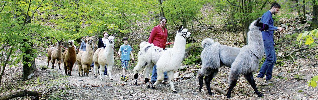 Trekking con i lama nel Parco Nazionale del Locarnese